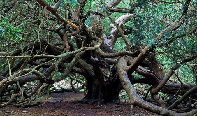 Yggdrasil Yew Kingley Vale forest.jpg